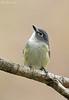 Blue-headed Vireo (Adult Male) (Jon Cormorant) Tags: bird birds md maryland aves pajaros naturephotography birdphotography joncorcoran marylandbased jccorlante
