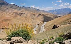 Ladakh (gurpreet_singh.) Tags: road sky india mountains flower green beautiful yellow clouds turn landscape bush bend hills kashmir shrub curve tough jk hairpin ladakh jammu