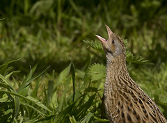 Corncrake_1802 (Peter Warne-Epping Forest) Tags: uk birds waterbirds crake corncrake crexcrex crakesandrails