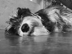 Una amiga de hace mucho (edwinheny) Tags: perro mascota cloe whiteblack ternura caninos mejoramigo amigoantiguo