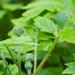 Large-leaf water leaf