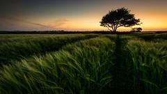 Les Premiers Bls (Teaspoon29) Tags: sunset france tree landscape nikon brittany wheat champs bretagne mai fields paysage arbre coucherdesoleil lieux d800 finistre 2015 annes bles plouarzel penarbed nikkor1635