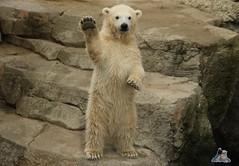 Eisbr Lilli im Zoo Bremerhaven 30.04.2016 Teil 2  97 (Fruehlingsstern) Tags: sunset sonnenuntergang polarbear lloyd lili bremerhaven zooammeer valeska eisbr canoneos750 tamron16300
