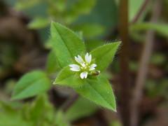 ミミナグサ? (nofrills) Tags: white green weeds weed tiny roadside whiteflowers whiteandgreen ミミナグサ