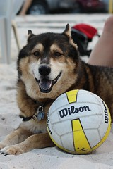Bo at volleyball (Kelli Gardner) Tags: dog beach husky wilson volleyball