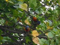 Lorikeets (Gunzelman) Tags: birds australian perth lorikeets australianbirds australiana nikonpics nikoncamerapics gunzelman