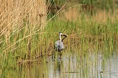 Heron vs Eel (WhitePointer) Tags: eel heron leightonmoss