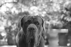Mastin Humano (altmmar89) Tags: bw dog white black blancoynegro dogs portraits pics mastiff bn retratos perros fotografia mastin caninos 60d mastinnapolitano napolitanmastiff