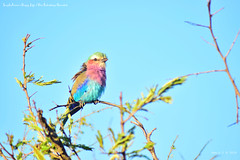 (Annie.F / Taiwan) Tags: bird animal krugernationalpark lilacbreastedroller