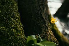 waterside (jonathon lynam) Tags: flowers ireland dublin irish tree green nature water yellow photography nikon pretty bokeh 1855mm wicklow photgraphy treee wicklowmountains dublinmountains nikond40 nikcollection