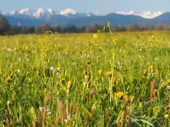 Gaiach Oberbayern Bayern Deutschland Upper Bavaria Germany (hn.) Tags: wild copyright mountain plant mountains alps flower nature berg field butterfly germany bayern deutschland bavaria spring flora heiconeumeyer europa europe buttercup gaissach natur oberbayern tlzerland upperbavaria pflanze feld meadow wiese eu berge alpine pasture wildflowers thealps alpen blume wildflower blte ranunculaceae frhling gebirge mountainrange oberland copyrighted springflower bergig butterblume mountainous wildblumen butterblumen wildblume voralpen forealps voralpenland frhlingsblume landkreisbadtlzwolfratshausen gaisach hahnenfusgewchs hahnenfusgewchse badtlzwolfratshausen