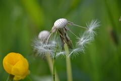 Ballet dancer :) (ZieZoFoto.com) Tags: ballet color macro green yellow spring nikon groen dancer dandelion geel kleuren voorjaar paardenbloem