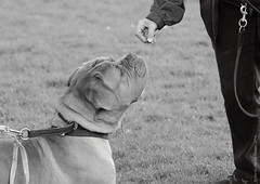 Down here lady! (Martin Werge Nissen) Tags: dog animal spring overcast din maximus doguedebordeaux aiservo canonef70200mmf4lisusm