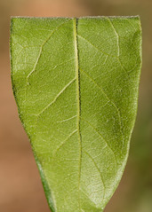 Quercus oglethorpensis (Oglethorpe Oak) (KeithABradley) Tags: hairy tree leaf fuzzy native underside veins beneath endemic rare hairs velvety fagaceae dicots stellate abaxial quercusoglethorpensis oglethorpeoak