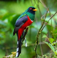 Peru: Masked Trogon (spiderhunters) Tags: bird peru rainforest andes cloudforest trogonpersonatus maskedtrogon neotropics