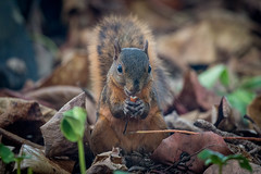 cureuil. Cahuita. Costa Rica. (Thierry Leclerc 60) Tags: wildlife animal nature costarica eos70d ecureuil squirel cahuita ngc