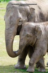 Elephant love (splendid_photography_UK) Tags: baby elephant love young trunk tenderness asianelephant twycross elephasmaximus