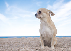 Petifa (StoryofLove Chihuahuas) Tags: blue sea pet pets chihuahua cute beach water beautiful beauty animal animals puppy cool perro domestic chihuahuas cachorro puppi perrito dulce puppie pupie cahorrito
