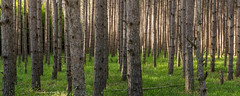 Northwoods (Aaron Springer) Tags: trees nature pine forest woodland landscape outdoor michigan panoramic northernmichigan