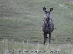 20160506093413 (koppomcolors) Tags: sweden moose sverige scandinavia vrmland lg koppomcolors