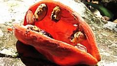 kalumpang (wild almond) (DOLCEVITALUX) Tags: fruits fauna flora philippines kalumpang medicinalplants skunktree sterculiafoetida wildalmond pinari