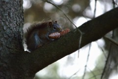 Red Squirrel (douglasmmiller810) Tags: red lake pine squirrel cone oudoor bannister squirel conifer redsquirrel redsquirel