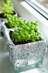 Small happiness (update) (Kym.) Tags: plant green thenetherlands basil parsley update windowsill herb kymskitchen greensflowers moestuintje smallhappiness