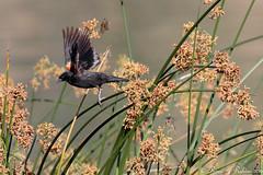 Rubino Red winged Blackbird in flight 20160522 Lake Hodges CA 126 (Ryan Rubino) Tags: red winged blackbird agelaius phoeniceus lake hodges ca reeds flight male