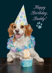 Buddy---9th-Birthday (Denise Trocio (D Trocio Photography)) Tags: birthday dog animal happy buddy celebration 9th mixedbreed domesticanimal spanielmix dtrociophotography