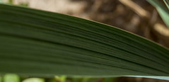 Ridged Green (africkey992) Tags: plant detail green texture nature closeup
