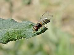 Allograpta obliqua (carlos mancilla) Tags: insectos flies moscas allograptaobliqua olympussp570uz