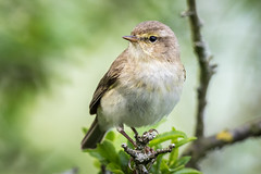 Willow Warbler (ianjoseph273) Tags: wildlife willow trust moors warren worcestershire warbler upton