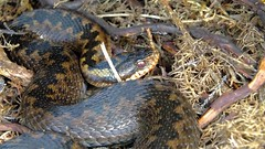 Adder (Vipera berus) (Nick Dobbs) Tags: reptile snake heath dorset viper adder venomous heathland venom vipera berus