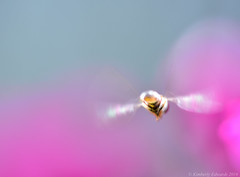 Week 22 - Backlit Translucent Nature (kimedwards1123) Tags: pink abstract flower color home nature yellow yard 2016 photochallenge sigma105mm d7200