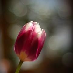 Eine Tulpe mit Bokeh (by Andy) Tags: d50 50mm dof bokeh tulip tulpe