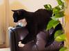 Black Cat (arjuna_zbycho) Tags: pet cats pets cute animal animals cat blackcat kitten feline chat felix kitty kittens tuxedo gato tuxedocat gatto katzen haustier kater tier gattini hauskatze kocio