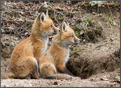 Red Fox Kits (RLowden) Tags: canon kits redfox randylowden