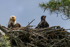 All Is Well (20160611-145436-PJG) (DrgnMastr) Tags: fb cropped eagles baldeagles eaglets coth littlestories supershot brilliantnature avianexcellence diamondclassphotographer flickrdiamond overtheexcellence naturesspirit picswithsoul damniwishidtakenthat dmslair sunshinegroup grouptags allrightsreserveddrgnmastrpjg pjgergelyallrightsreserved ia41