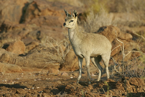 Klipspringer, on rocks, near Augrabies Water Fall, Northern Cape