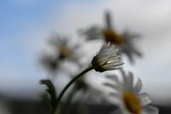 Summer (Fraila) Tags: summer flower nature nikon sommer daisy d600 marguerit nikkor60mm28