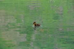 zu den Murmeltieren 28.6.2016 (Fotoblog Naturhotel Hflehner) Tags: murmeltier wandern karotte bachlalm ramsau dachstein walcheralm