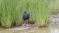 Western Swamphen (Tris Enticknap (catching up - again!)) Tags: mallorca porphyrioporphyrio westernswamphen nikond750 nikkor300mmf4epfedvrlens