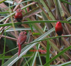 Crimson Finches (Neochmia phaeton) (paulberridge) Tags: bird finch red avadavat animal wildlife nature photography cairns australia queensland