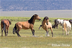 Wild Horses In The Eastern Sierra (Mimi Ditchie) Tags: easternsierra monolake horses mustangs wildhorses