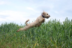 Day 8 | Field Fun (colley.rebecca) Tags: dog cute dogs jump shot action adorable labradoodle actionshot