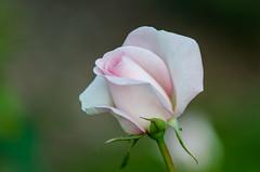 rose garden 3 (gdajewski) Tags: flowers roses rose garden backyard rosegarden nikkor70200mmf28gafsvr nikond7000 schenectadyrosegarden