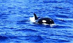ORCA DEL ESTRECHO (wiedu09) Tags: orca gibraltar killerwhales estrecho