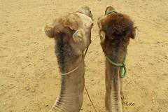 El y Yo (Coco Briceo Fernandez) Tags: morocco marruecos camels tangier tanger camellos