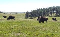 American Bison at Wind Cave National Park (Lavinia Obscura Photography) Tags: park vacation history nature beautiful southdakota outdoors nationalpark buffalo south roadtrip adventure explore bison dakota windcave windcavenationalpark americanbison americanbuffalo