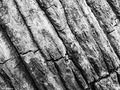 Palm (Thad Zajdowicz) Tags: palm tree flora plant macro blackandwhite black white bw monochrome highcontrast diagonal abstract nature zajdowicz pasadena california leica lightroom availablelight pattern organicpattern texture light shadow lines outdoor outside wood minimalism